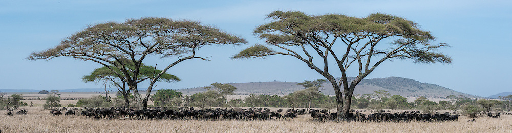Wildebeest gather under acacia trees to wait out the hot mid-day sun before moving on in the Great Migration.