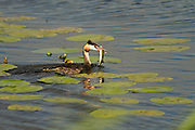 Adult great crested grebe carrying fish after catching it in Decoy Lake, part of the Shapwick Heath Nature Reserve.