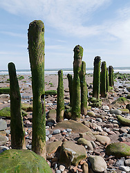 Old seaweed-covered wooden groynes on the beach at Sandsend, Whitby.