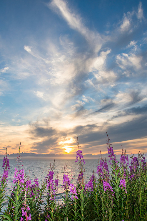 A senic view of Cook Inlet with blooming fireweed in the foreground.