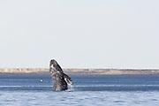 Gray Whale<br /> Eschrichtius robustus<br /> Breach<br /> San Ignacio Lagoon, Baja California, Mexico