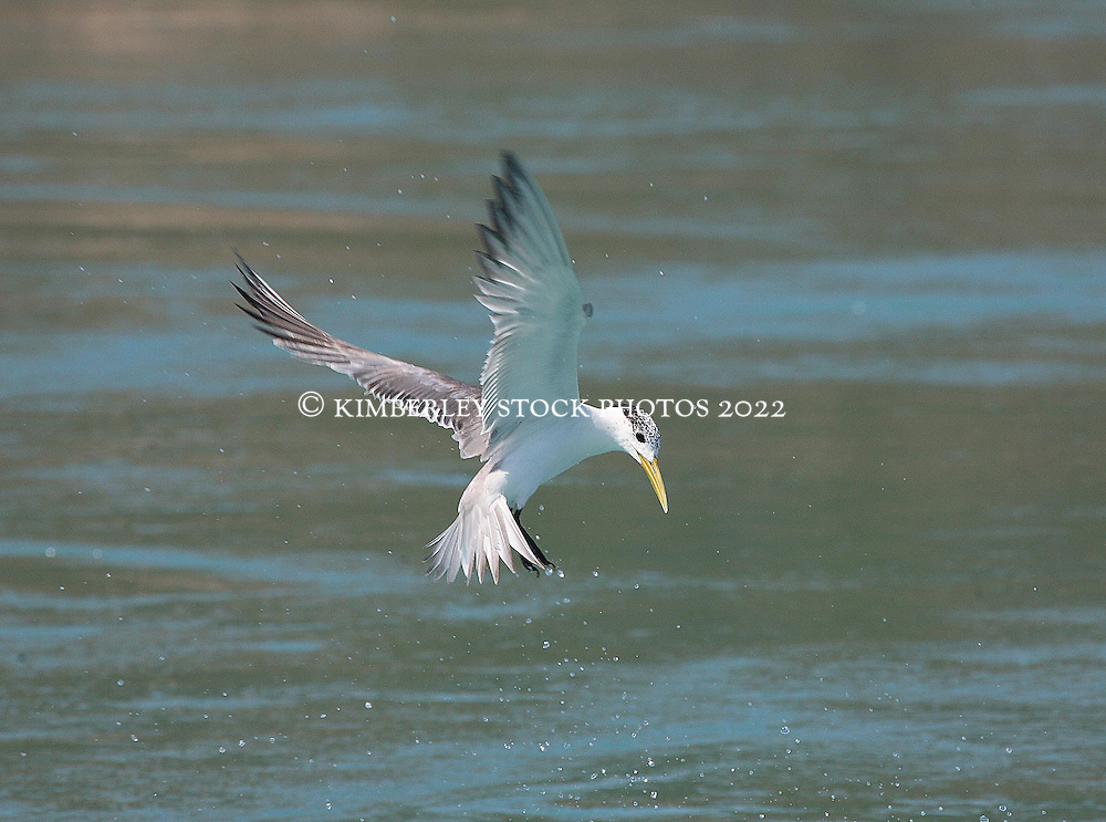 A whiskered tern caught mid flight whilst fishing for bait fish at Augustus Island, in Camden Sound on the Kimberley coast.