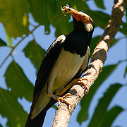 Asian Pied Starling, Sturnus contra floweri, eating a frog. The bird is ringed as part of a tracking program.