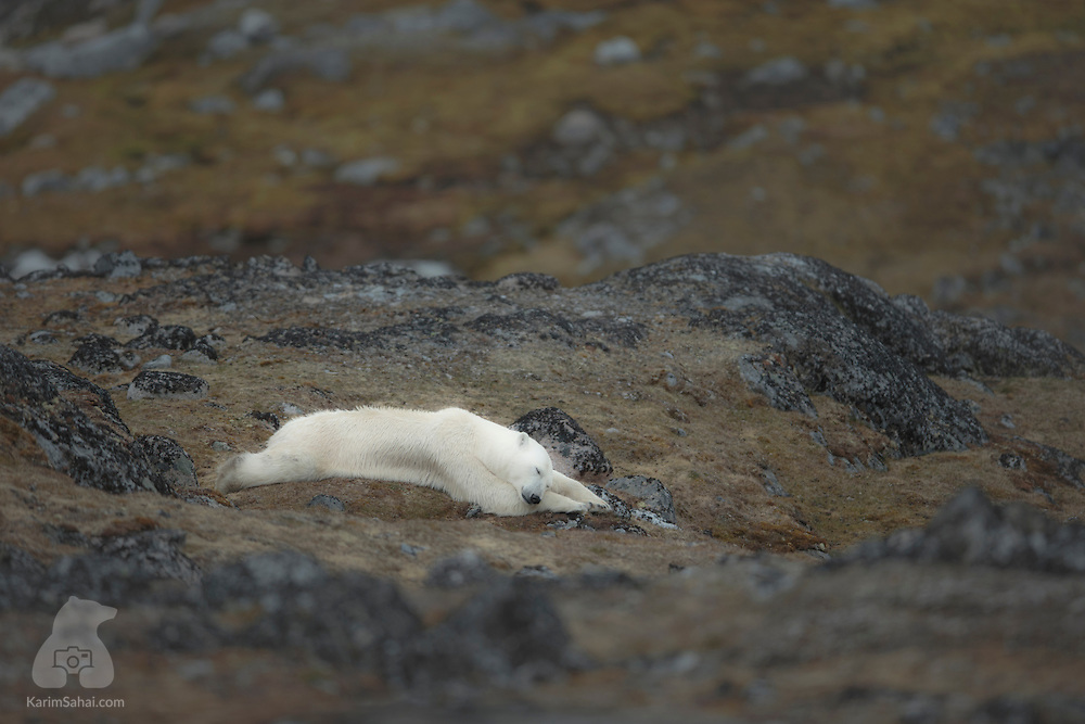 An emaciated polar bear sleeps on a bed of moss, on the tiny island of Moseøya, north west of Spitsbergen, in the High Arctic archipelago of Svalbard. With its seasonal melting of the pack ice, summer is always a challenging time for polar bears. With less ice, seals are harder to catch and bears rely almost exclusively on the fat reserves accumulated during their winter hunts. Sadly, with the changing climate, summer has become increasingly deadly for polar bears. As the pack ice melts sooner, farther and reappears later in the year, polar bears are often stranded on land for long periods, and left with fewer food options.