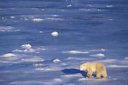 Polar Bear<br /> Ursus maritimus<br /> Sub-adult <br /> Wapusk National Park, Canada