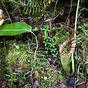 Pitcher plant (Nepenthes burbidgeae) near Mesilau Nature Resort at 2000 meters elevation, Kinabalu National Park, Borneo, Malaysia.