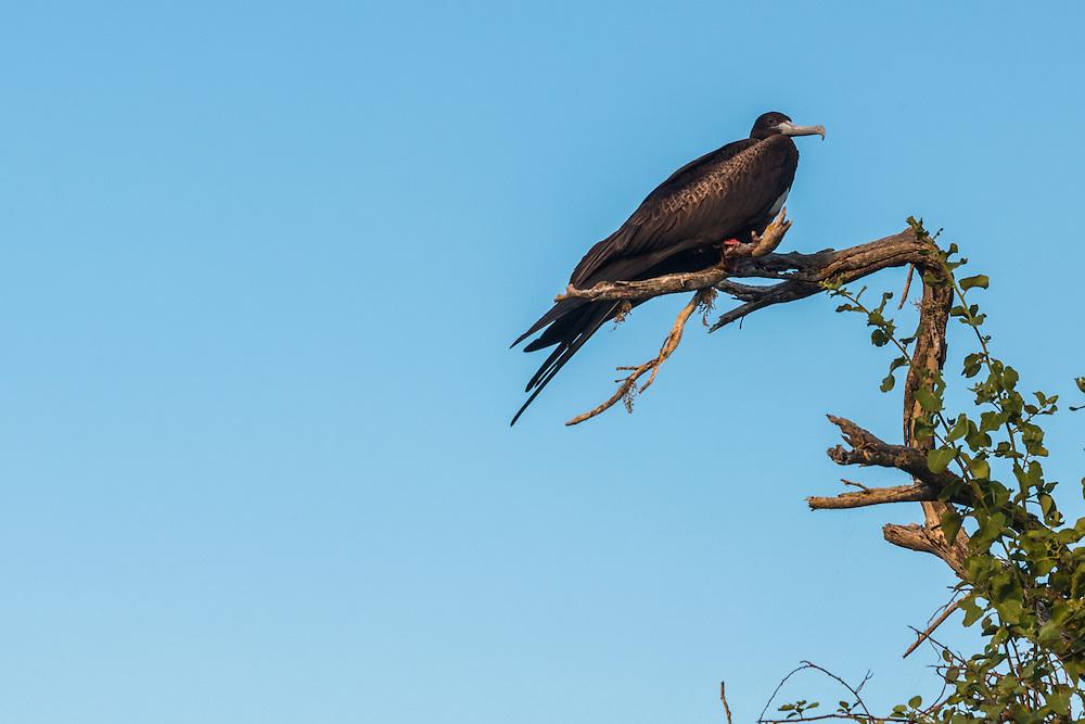 Frigate bird resting in a tree, San Cristobal, Galapagos, Ecuador.