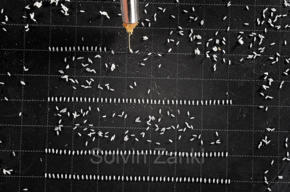 Sorting Fruit Fly (Drosophila melanogaster) embryo for DNA injection    Mit einem vereinzelten Pinsel-Haar, viel Erfahrung und ruhiger Hand sortieren die Laborantinnen im Vienna Drosophila RNAi Center (VDRC) die winzigen Eier der Taufliegen (Drosophila melanogaster). Nach einer chemischen Behandlung, die die äußere Ei-Hülle weggeätzt hat, werden die Eier, die die Prozedur in wunschgemäßem Zustand überstanden haben, mit dem Hinterende des sich entwickelnden Embyos in einer Richtung ausgerichtet und  in Reihen angeordnet. Je eine Reihe wird auf ein Glasplättchen aufgenommen und einem Embryo-Hinterleib nach dem anderen mit einer Glaskapillare unter dem Mikroskop verändertes Erbgut injiziert. Die Laborantinnen manipulieren pro Tag zwischen 700 und 900 Fliegen-Embryonen.