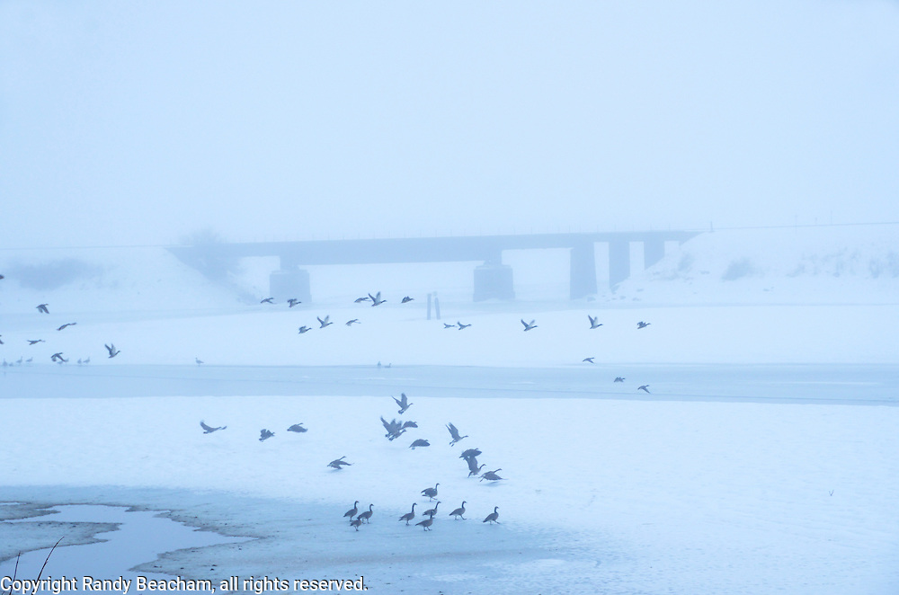 Canada geese and mallards at Pack River Delta in winter on a foggy morning. Bonner County, North Idaho.