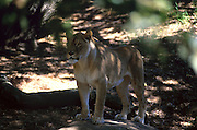 A Lioness stands on a rock in the shadows of a shady tree at the Oakland zoo. 1999.