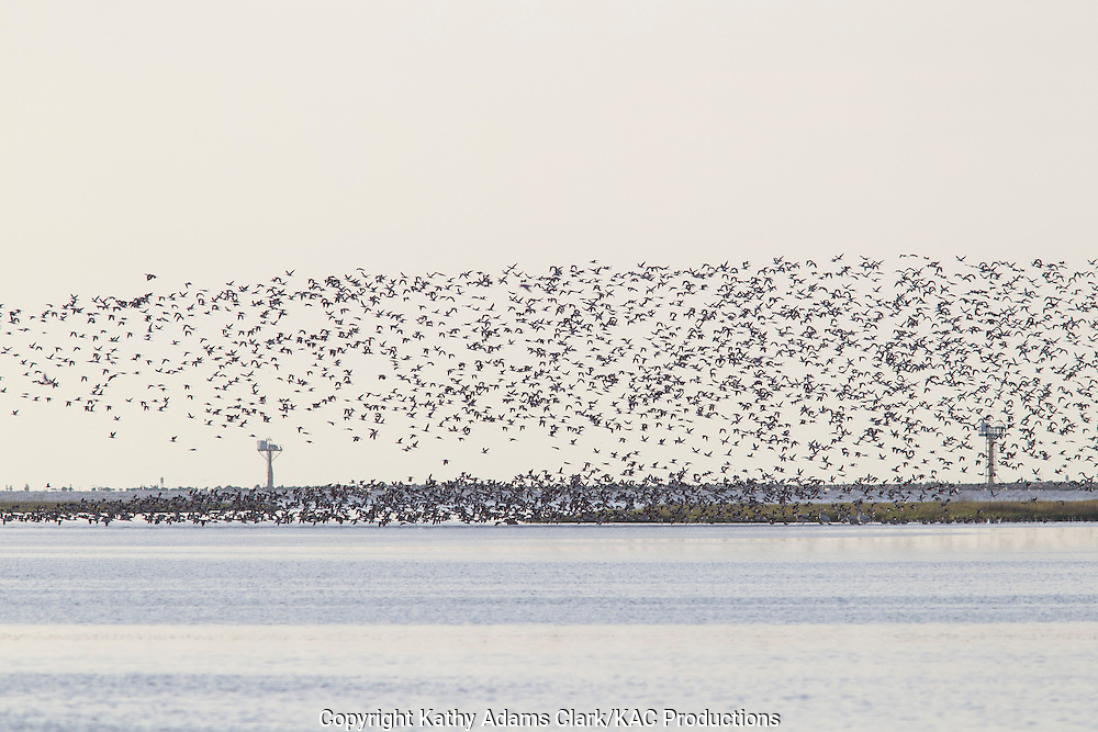American avocet, Recurvirostra americana, large flock, rising above the marsh, Bolivar Flats, on the Texas Coast.