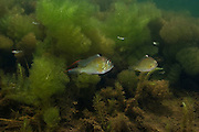 Thread-finned Cichlid (Acarichthys heckelii) in Aquatic Vegetation<br /> Permanant Freshwater Pond<br /> Savannah<br /> Rupununi<br /> GUYANA<br /> South America<br /> RANGE: Brazil and British Guyana