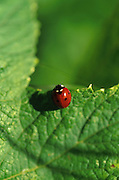 A ladybug perches on the edge of a green leaf.