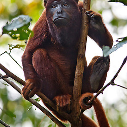 Portrait of a Red Howler Monkey (Alouatta seniculus, Atelidae) that was part of a group living at the Tambopata, Peru - Portrait eines Roten Brüllaffen der Teil einer Gruppe am Tambopata Fluss in Peru war