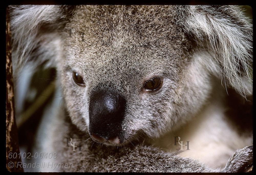 Orphaned 9-month-old koala poses for close portrait in his cage @ Eprapah rehab cntr;(v)Brisbane Australia