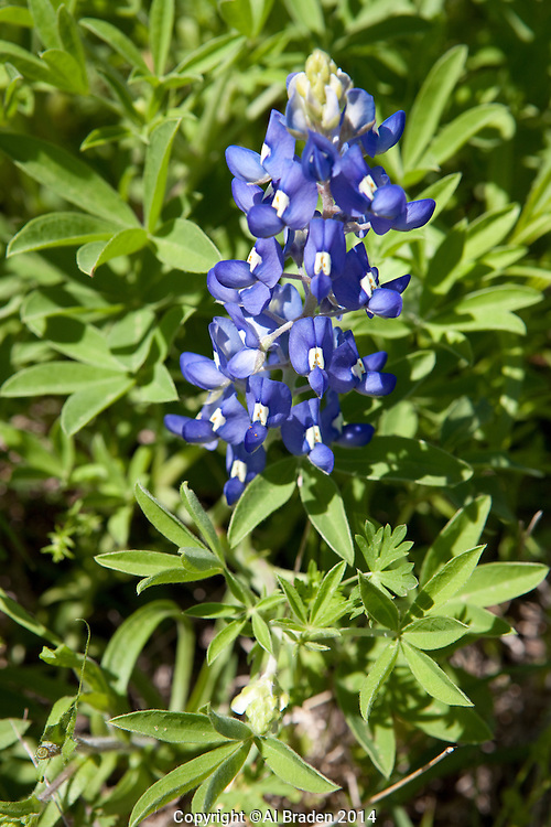 Bluebonnet, (Lupinus texensis), Gonzales County, Texas