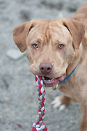 This is Maverick. He is a mix breed dog available for adoption at the Chemung County Humane Society and SPCA.