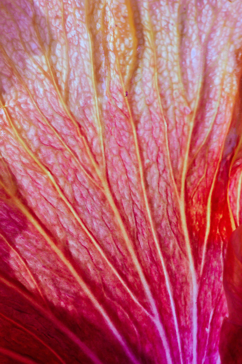 Close-up of Hibiscus flower petals