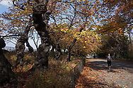 Autumn colors under the cherry trees along The Reservoir in Central Park