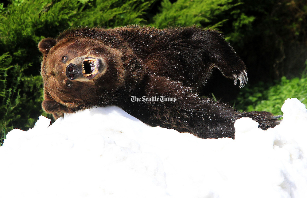 Keema, all 835-pounds of grizzly bear, rolls on a pile of snow from Crystal Mountain brought in for him and his twin brother Denali for their 20th birthday at Woodland Park Zoo.  The bears were originally at WSU and have lived their lives in captivity.  It's believed about 10 grizzly bears live in the North Cascades in Washington State compared to 25,000 to 30,000 black bears.   <br /> <br /> Alan Berner / The Seattle Times
