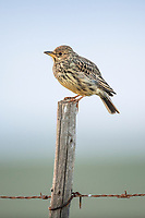 Large-billed Lark perched on fence post, Renosterveld, Western Cape, South Africa