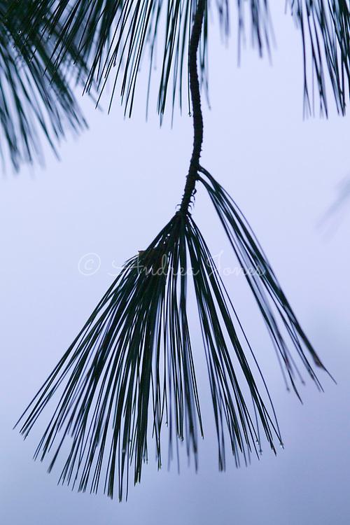 Silhouette of the hanging branches and fine needles of Pinus wallichiana var. wallichiana (Bhutan pine)