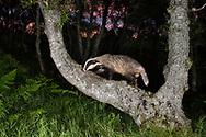 Badger (Meles meles) foraging at night, Cairngorms National Park, Scotland.