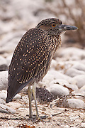 Juvenile yellow-crowned night heron (Nyctanassa violacea) near the beach on Genovesa Island, Galapagos Archipelago - Ecuador.