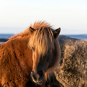 Hov Gård Icelandic Horse Riding Centre, Gimsøy Island, Lofoten, Norway, Europe