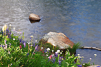 wildflowers along the edge of a pond south of Chinook Pass in Mount Rainier National Park, Washington state, USA