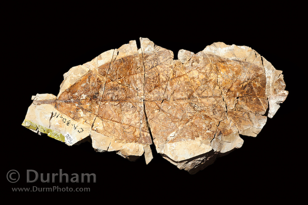Fossil of a 44 million year old leaf from the avacado family (Lauraceae). Clarno Nut Beds, John Day Fossil Beds, Oregon.