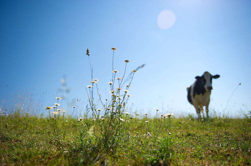 Cow and weeds in pasture