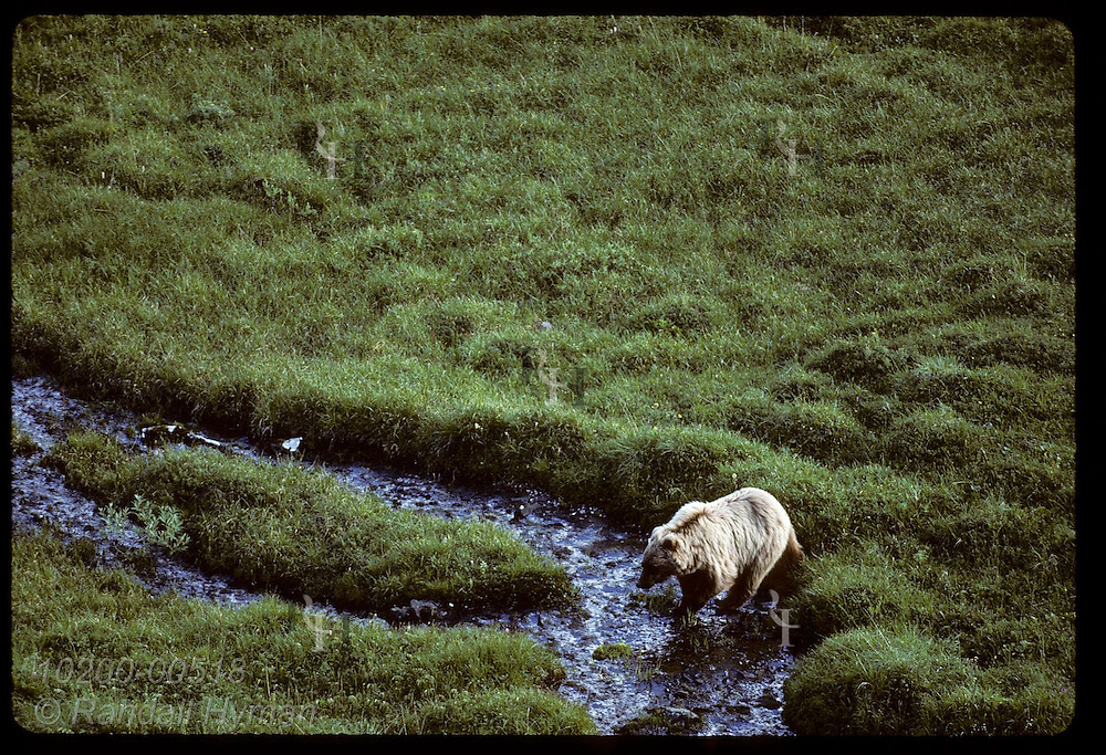 Grizzly bear (Ursus arctos horribilis) fords a brook as it searches the tundra for food on an August afternoon; Denali National Park, Alaska