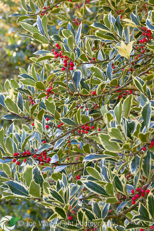 Hollies and their berries in the gardens at Erddig Hall, Wrexham - photographed in November