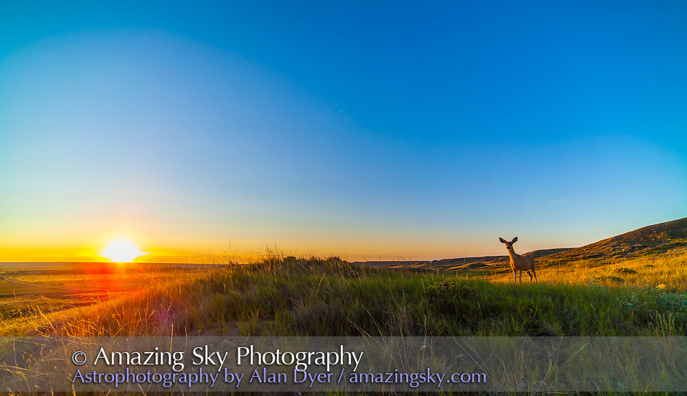 A deer in the sunset, at Grasslands National Park, Saskatchewan, August 25, 2014. Taken while I was setting up for a sunset panorama and nighttime Milky Way shoot. Taken with the 14mm lens and Canon 6D.