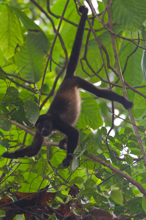 Spider Monkey (Ateles geoffroyi), Corcovado National Park, Costa Rica.  April 2009.  (Photo/William Byrne Drumm)