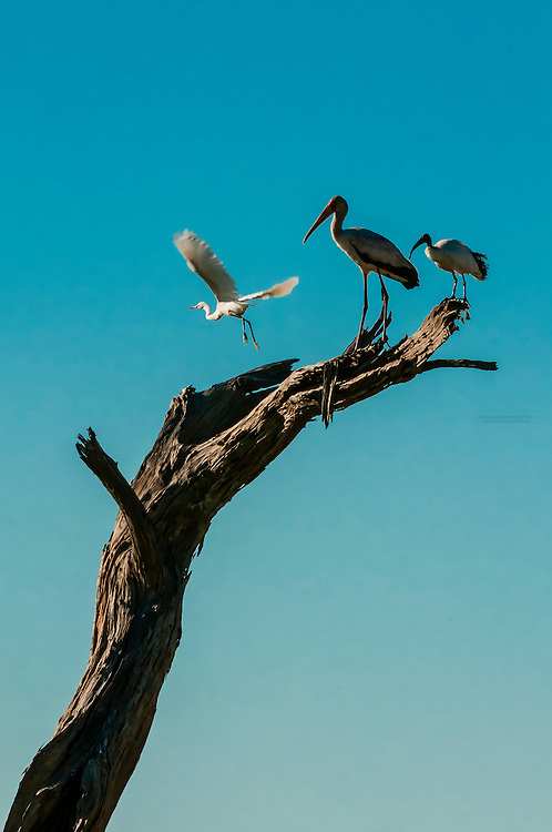 A Great Egret takes off with Yellow Billed Stork and Sacred Ibis standing on branch, Kwando Concession, Linyanti Marshes, Botswana. Kwando Concession, Linyanti Marshes, Botswana.