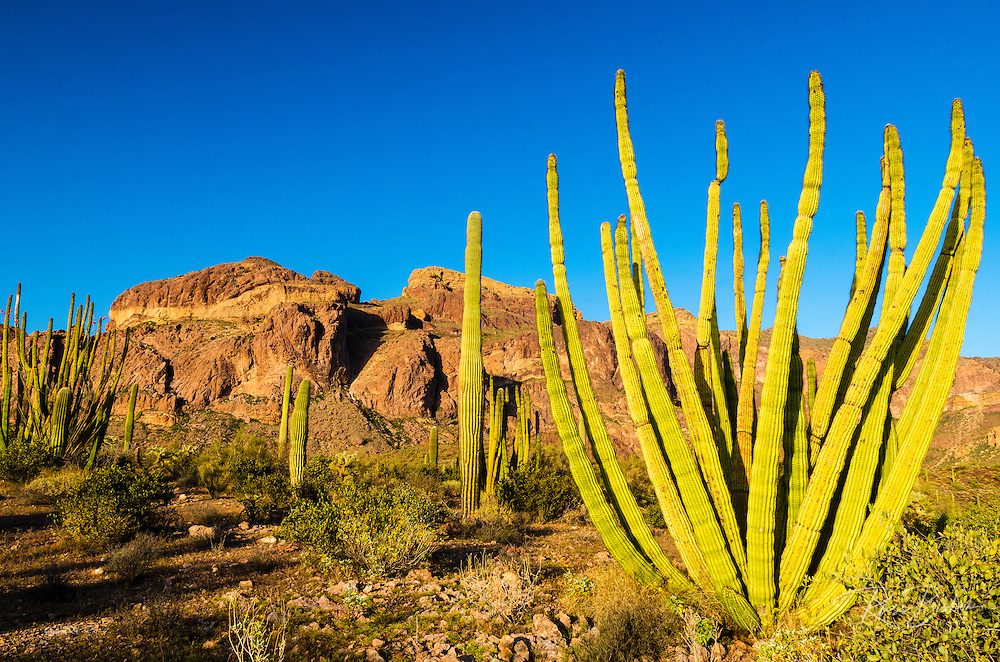 Organ pipe cactus in the Ajo Mountains, Organ Pipe Cactus National Monument, Arizona USA