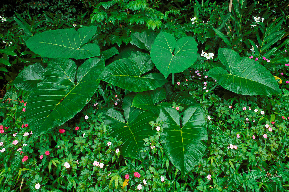 Lush vegetation in Nahiku along the road to Hana, Island of Maui, Hawaii