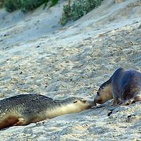 Kangaroo Island - South Australia,Nature's Pleasure Island, Australia's 3rd largest Island.   Australian sea-lions,Kangaroo Island - South Australia,Nature's Pleasure Island, Australia's 3rd largest Island.