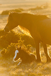 © Licensed to London News Pictures. 20/05/2020. Builth Wells, Powys, Wales, UK. Welsh mountain ponies and foals relax on the Mynydd Epynt range, on a beautiful warm sunny evening near Builth Wells in Powys,Wales, UK. Photo credit: Graham M. Lawrence/LNP