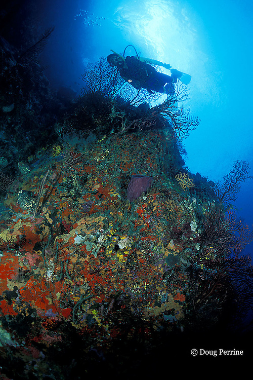 diver examines coral and sponge encrusted wall at New Guinea Reef, Saint Vincent, St. Vincent & the Grenadines ( Eastern Caribbean Sea )   MR 251