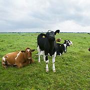 Nederland Delft 17-09-2010 20100917     A4 Delft - Schiedam wordt definitief verlengd,  er  is begin deze maand officieel besloten tot de aanleg van het stuk snelweg waarover zo'n vijftig jaar is gesproken. Natuurgebied dat in de toekomst zal moeten wijken na het doortrekken van de A4, koeien in de wei. Rijkswaterstaat en het ministerie van VWS hebben dat laten weten.Over de nieuwe verkeersader wordt al decennialang gesteggeld, vooral omdat de weg het natuurgebied Midden-Delfland doorboort...De zeven kilometer asfalt tussen Delft en Schiedam doorkruist straks verdiept of via een tunnel het natuurgebied tussen de twee steden. Het belangrijkste pluspunt is dat de A13 wordt ontlast. Op rijksweg A13 staat dagelijks de voor de economie schadelijkste file van Nederland. Met het project A4 Delft-Schiedam willen lokale en regionale overheden en het Rijk de problemen rond bereikbaarheid en leefbaarheid op en rond de A13 en de A4 Delft-Schiedam oplossen. Midden Delftland.