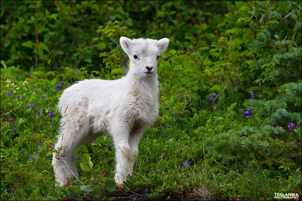 A dall sheep lamb stands against a background of green.