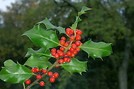 HOLLY Ilex aquifolium (Aquifoliaceae) Height to 10m<br /> Evergreen shrub or small tree, familiar as a Christmas decoration. Found in woods and hedgerows. FLOWERS 6-8mm across, whitish and 4-petalled; borne in crowded clusters (May-Jul). FRUITS are bright red berries. LEAVES are stiff and leathery with spiny margins; shiny dark green above but paler below. STATUS-Widespread and common.