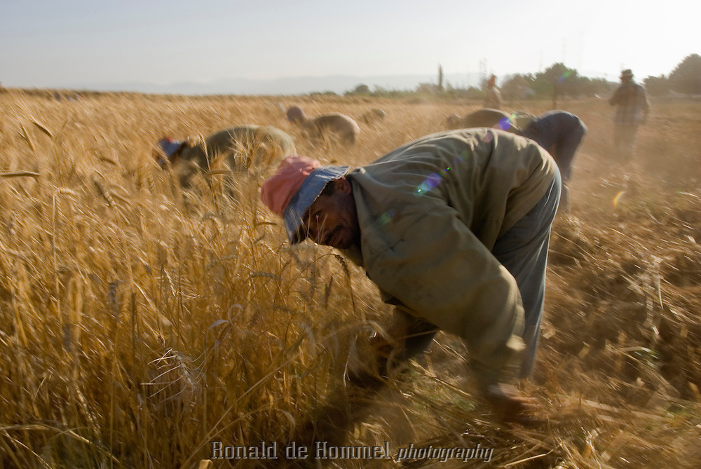 Harvest of the wheat by Egyptians workers. Nonetheless they cost less to Jordanian landowners but 90% of the harvest is exported. Pella area, north of the country, along the Jordan river.