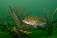 Largemouth Bass (photographed inside of a Fishiding Habitat Structure)<br /> <br /> Engbretson Underwater Photography