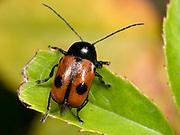 Close up of a leaf beetle (Cryptocephalus bipunctatus) feeding on a leaf in a coastal habitat at Rovinj, Croatia