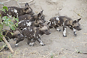 African Wild Dog<br /> Lycaon pictus<br /> Six 5-week old pups emerging from den<br /> Northern Botswana, Africa<br /> *Endangered species