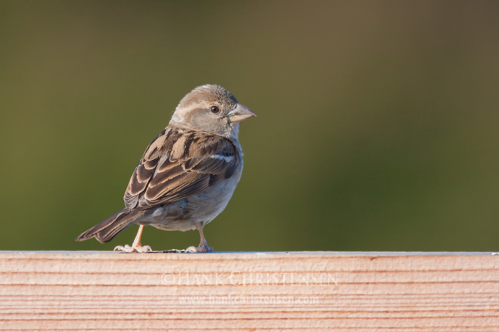 A song bird perches on a fence in late evening light